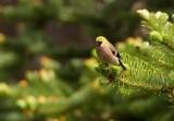 Red-headed Bullfinch, female