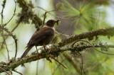 Collared Blackbird, female