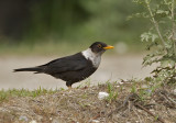 Collared Blackbird, male