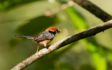 Red-headed Tit