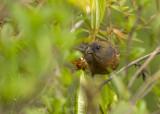 Gold-naped Finch, female