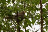 Great Parrotbill