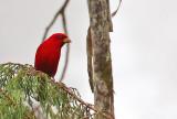 Scarlet Finch