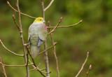 Wedge-tailed Pigeon