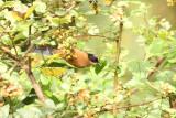 Rufous Sibia
