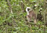 Grey Macaque