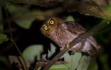 Flores Scops Owl