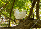 Yellow-crested Cockatoos