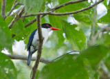 White-rumped Kingfisher