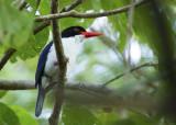 White-rumped Kingfisher