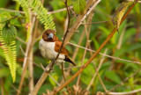 Five-colored Munia