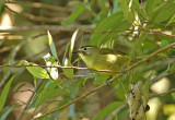 Cream-browed Dark-eye