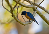 Timor Blue Flycatcher