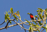 Sumba Flowerpecker (Blood-breasted)