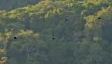 Sumba Hornbills