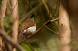 Sumba Jungleflycatcher (Russet-backed)