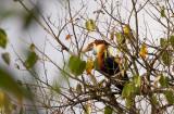 Sumba Hornbill