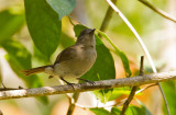 Sumba Jungleflycatcher (Russet-backed)