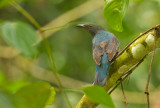 Asian Fairy Bluebird, fem