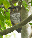 Asian Barred Eagle-Owl