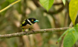 Black-yellow Broadbill