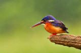 Blue-eared Kingfisher, fem