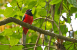 Diard's Trogon, male