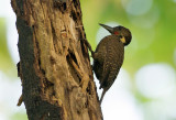 Buff-necked Woodpecker