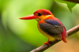 Rufous-backed Kingfisher