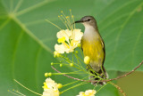 Copper-throated Sunbird, fem