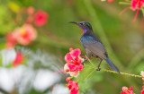 Copper-throated Sunbird, male