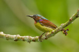 Red-throated Sunbird