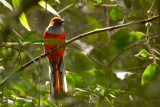 Whitehead's Trogon, male
