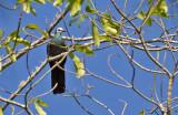 Sulawesi Black Pigeon