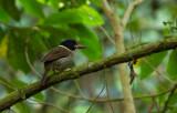 Scaly Kingfisher