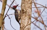 Ashy Woodpecker