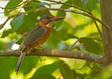 Green-backed Kingfisher, female