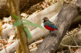 Sulawesi Red-bellied Pitta