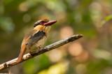Lilac Kingfisher