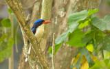 Common Paradise Kingfisher