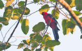 Moluccan King Parrot