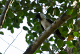 Piping Crow