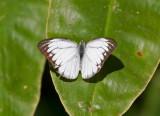 Forest White Udaiana