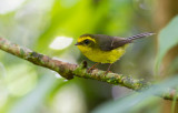 Yellow-bellied Fairy Fantail