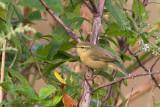 Buff-throated Warbler