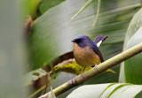 Slaty Blue Flycatcher