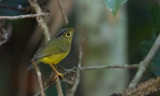 Ahlstrom's Warbler