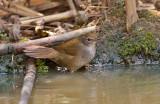 Spotted Bush Warbler