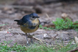 Chats, Robins, Shortwings, Forktails