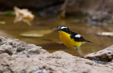 Yellow-rumbed Flycatcher